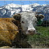 Alpine Vaca Jigsaw