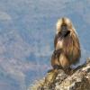 Los babuinos Jigsaw