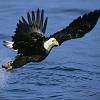 Águila calva Jigsaw Puzzle
