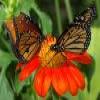 Mariposas Puzzle – 1