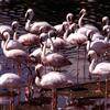 Flamingo Jigsaw