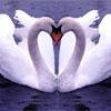FTA – Swans