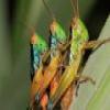 Grasshoppers deslizante