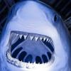 Gran tiburón blanco Jigsaw