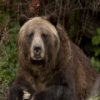 Grizzly Bear deslizante