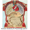 Human Anatomy and Physiology part 4