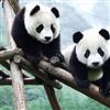 Panda Jigsaw