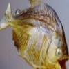 Piranha deslizante