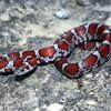 Red Milk Snake Jigsaw