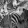 Zebra deslizante